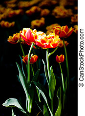 Tulips - A tulip under sunlight with dark with shadow areas ...