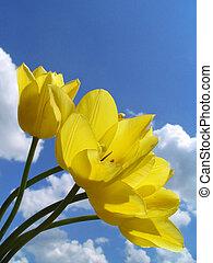 tulips, amarela
