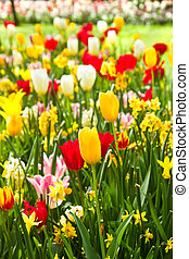Tulips and daffodils in lots of colors in spring