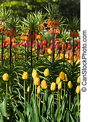 Tulips and imperial crowns in spring