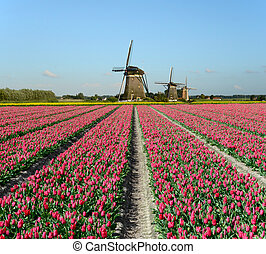 Field of red tulips and windmills in Holland.