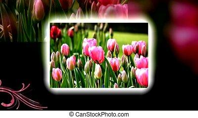 tulips animation with flourishes