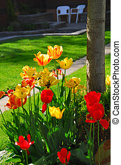 Tulips at a house - Bright colorful tulips on front of a...