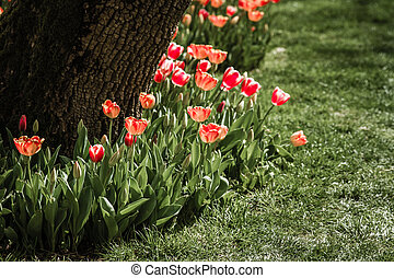 Tulips at the Bottom of a Tree