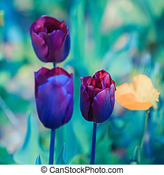 Tulips. Beautiful bright purple tulips on a dark blurred blue background in spring. Shallow depth of field. Toned image. Card