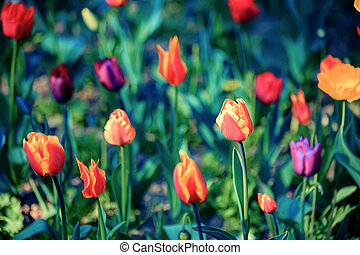 Tulips. Beautiful bright tulips on a dark blurred background in spring. Shallow depth of field. Toned image