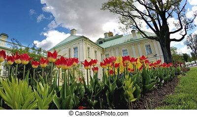 Tulips before the Grand Menshikov Palace. St. Petersburg, Lomonosov, Russia