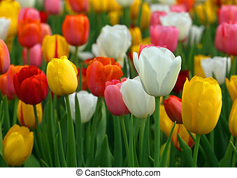 Tulips bloomed outdoor