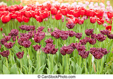 Tulips blooming in a garden in botany park in early spring