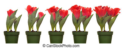 Tulips Blooming Series - Time lapse series of tulips...