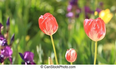 Tulips blossom in the garden