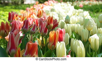 tulips, blossoming
