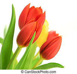 Border of red tulips over a white background and one yellow tulip, with leaves, flowers are placed in the angle of the image