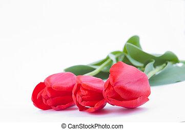 tulips, branca, fundo