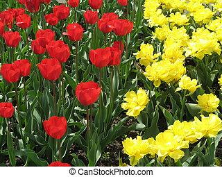 tulips, campo