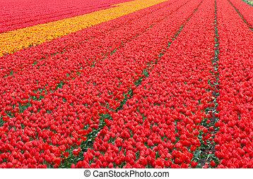 tulips, campo, fundo