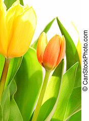 Tulips - Close up on fresh backlit tulips on white...