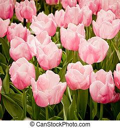 tulips., coloré
