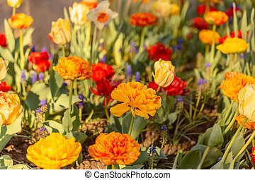 Tulips. Colored bright background with multi-colored tulips on a sunny day. Shallow depth of field. Toned image