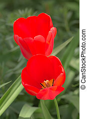 tulips, due, rosso