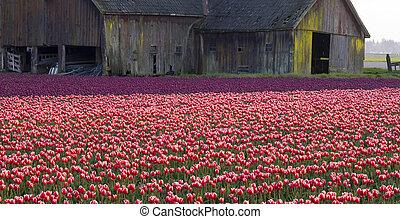 tulips, e, celeiro