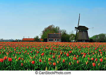 tulips, e, mulino vento