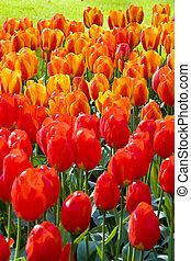 tulips, em, keukenhof, jardins