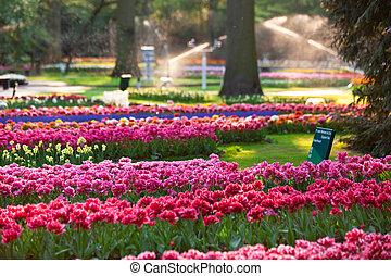 tulips, em, pôr do sol, light.
