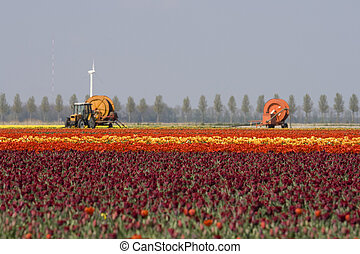 Tulips farming