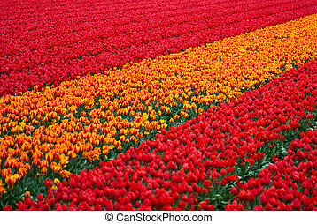 tulips field background