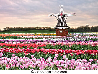 tulips field - a windmill on a tulips field in the spring...
