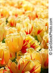 tulips, flamed, красный, желтый, весна