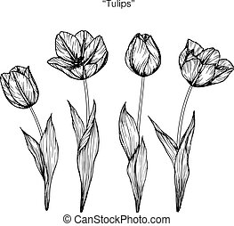 Tulips flower. Drawing and sketch with black and white line-art.
