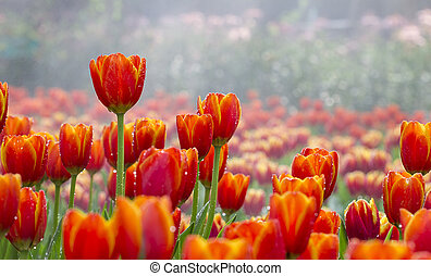 tulips flower field - beautiful tulips with water drop