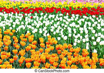 tulips flower field
