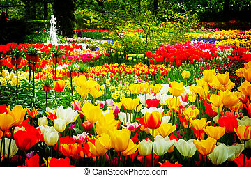 tulips flowerbeds at spring - white, red, yellow tulip...