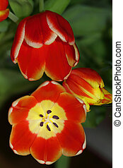 Tulips flowers are a harbinger of spring - Tulip (Tulipa) is...