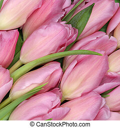 Tulips flowers background in spring