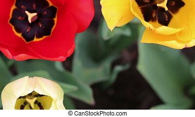 Tulips flowers three - Tulips flowers shot three