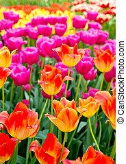 tulips, fondo