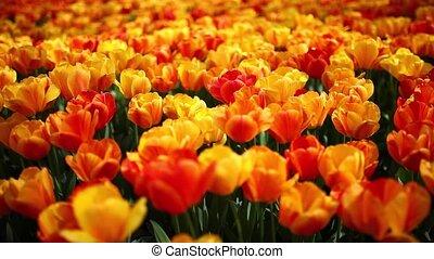 tulips garden - images of tulips in spring