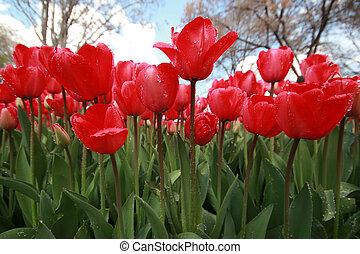 tulips, giardino