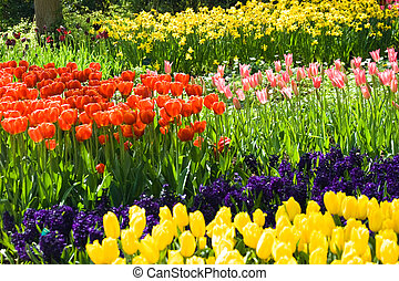 Tulips, hyacinths and daffodils in many colors in spring