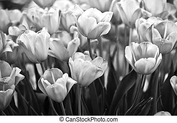 Tulips in black and white