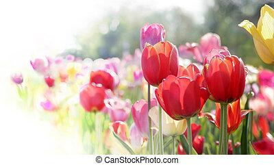 tulips in bloom - highkey