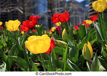 Tulips in Bloom in downtown Chicago