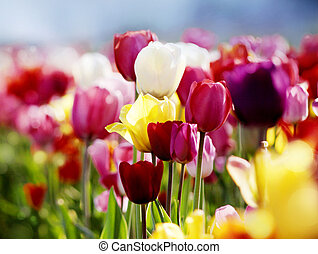 tulips in bloom - red, pink, lilac and yellow tulips ...