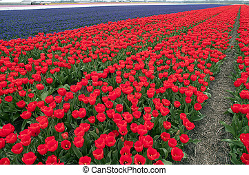 Tulips in field, The Netherlands