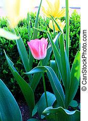tulips in full bloom in the garden