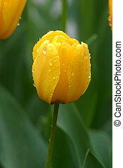 Tulips in full bloom